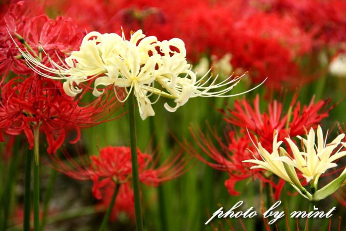曼珠沙華の里「巾着田」赤いジュータンが綺麗♪_e0218518_22112979.jpg