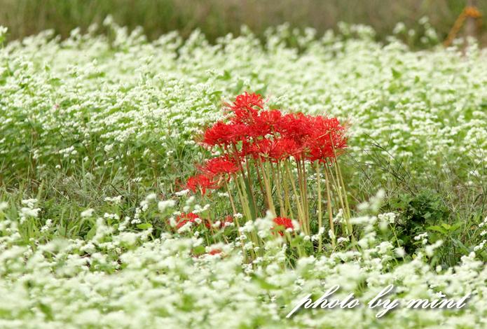 曼珠沙華の里「巾着田」赤いジュータンが綺麗♪_e0218518_2211529.jpg