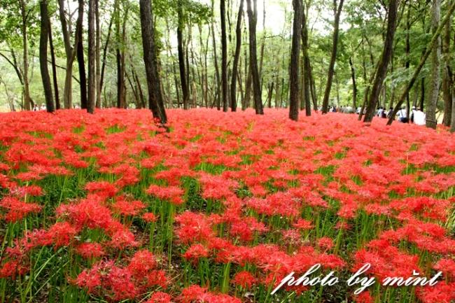 曼珠沙華の里「巾着田」赤いジュータンが綺麗♪_e0218518_22262242.jpg