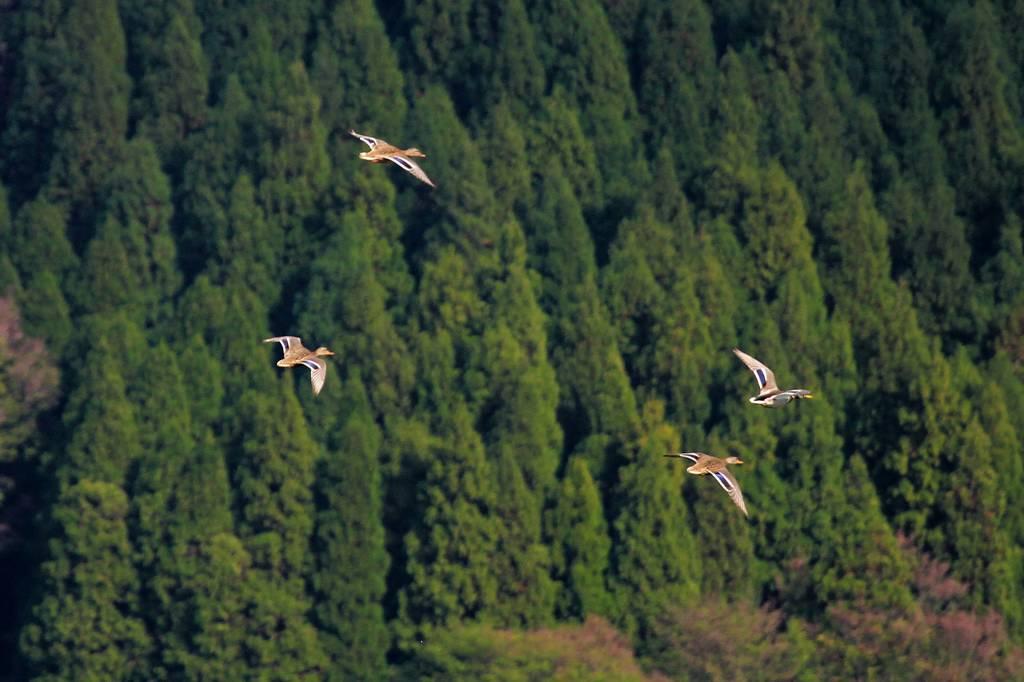 外出先からの更新/ハシブトアジサシ/琵琶湖のマガモ_b0024798_5182444.jpg