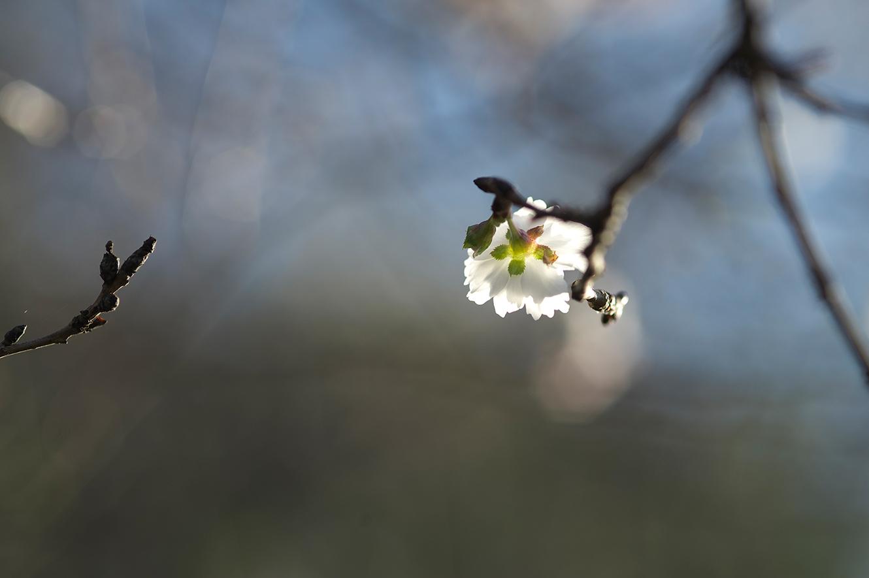 雪色桜_f0121181_0211648.jpg