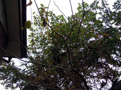 朝咲きの月下美人と柿の木の枝剪定_e0097534_1811452.jpg