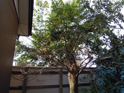 朝咲きの月下美人と柿の木の枝剪定_e0097534_18185689.jpg