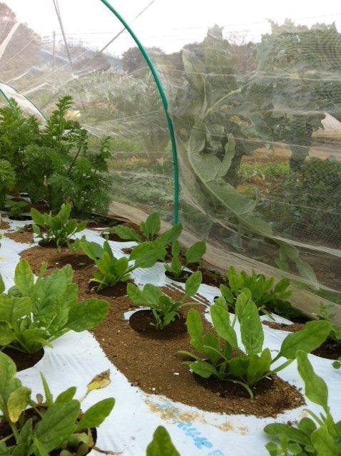 本日は葉物が沢山採れて・・野菜が華やぐメニューでお迎えできます_c0222448_11554921.jpg