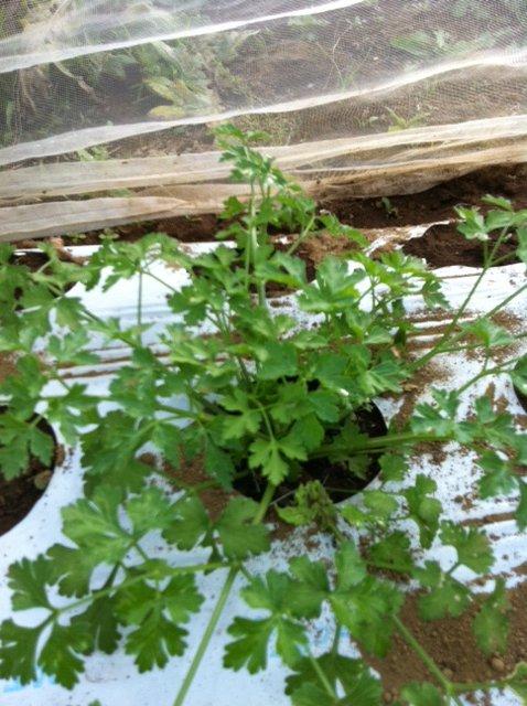 本日は葉物が沢山採れて・・野菜が華やぐメニューでお迎えできます_c0222448_11555781.jpg