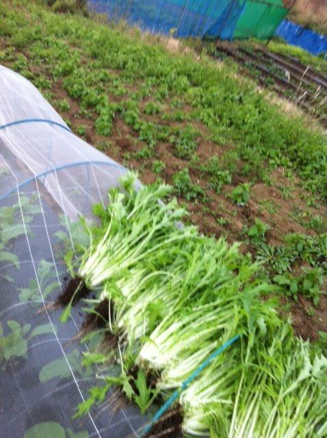 本日は葉物が沢山採れて・・野菜が華やぐメニューでお迎えできます_c0222448_11561134.jpg