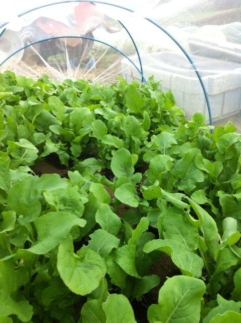 本日は葉物が沢山採れて・・野菜が華やぐメニューでお迎えできます_c0222448_11561823.jpg