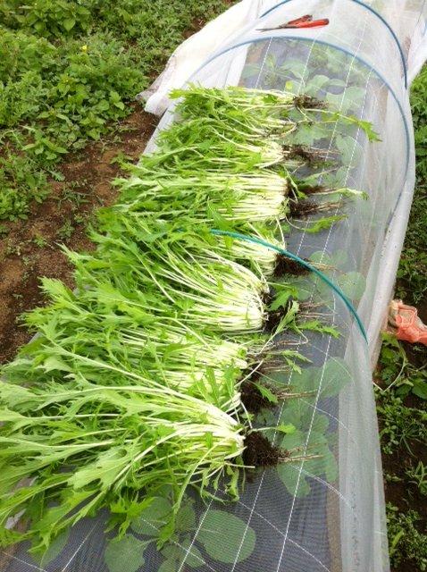 本日は葉物が沢山採れて・・野菜が華やぐメニューでお迎えできます_c0222448_11563682.jpg
