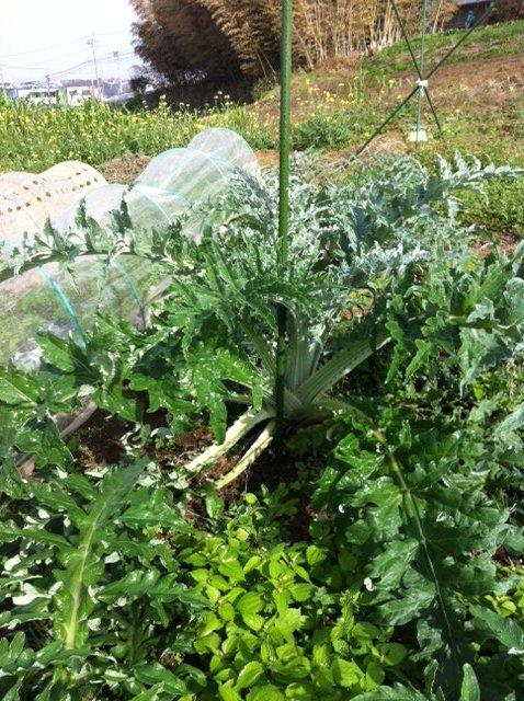 本日は葉物が沢山採れて・・野菜が華やぐメニューでお迎えできます_c0222448_11564359.jpg