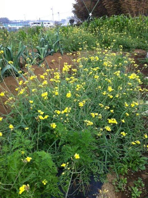 本日は葉物が沢山採れて・・野菜が華やぐメニューでお迎えできます_c0222448_1156463.jpg