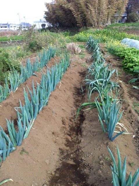 本日は葉物が沢山採れて・・野菜が華やぐメニューでお迎えできます_c0222448_1157913.jpg
