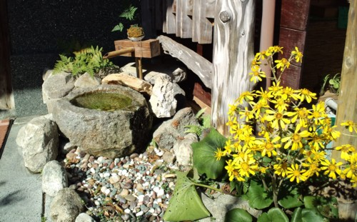 """""""つわぶき""""の黄色い花が あちこちの庭を彩っています。和洋問わずマチィングする奇麗な庭草です。_d0082356_15101437.jpg"""