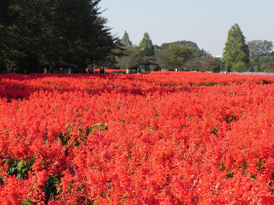 花の丘公園の花々_c0187781_17295765.jpg