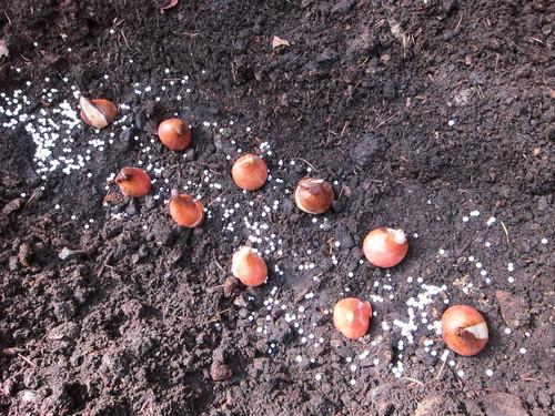 チューリップの球根を植えました。_d0133485_8285410.jpg