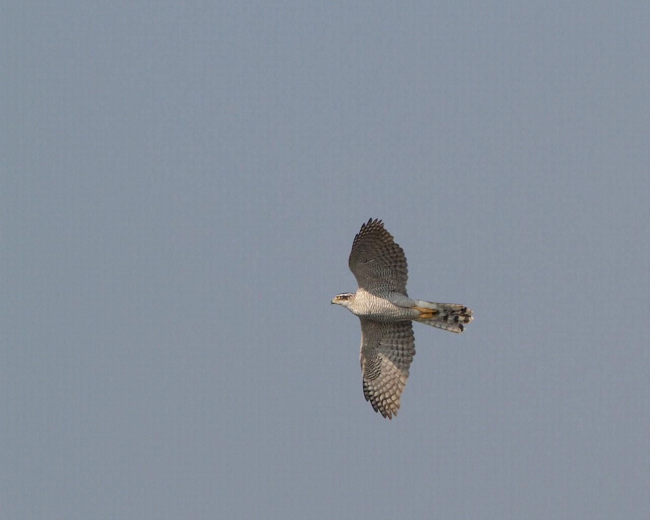 オオタカ成鳥がカラスを襲うも失敗_f0105570_18572660.jpg