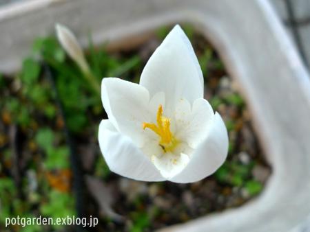 クロッカス・ゴウリミィ '日野ホワイト' Crocus goulimyi 'Hino White'