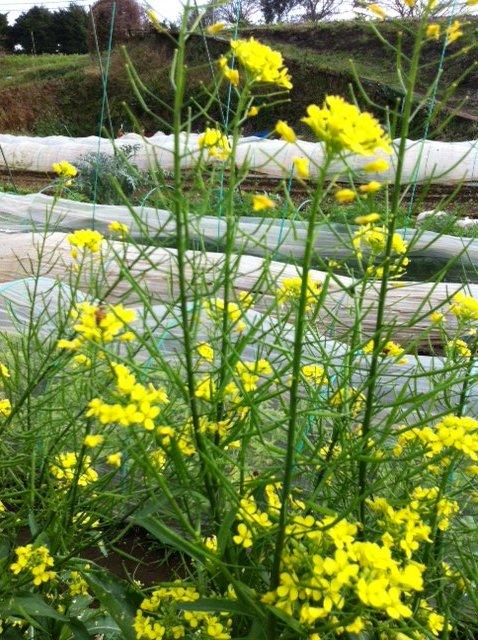野生のルーコラ&オータムポエムの花・・競って咲いています_c0222448_1438143.jpg