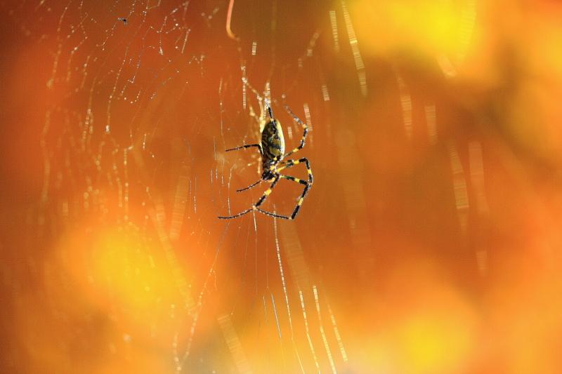 秋の女郎蜘蛛_e0183063_948474.jpg