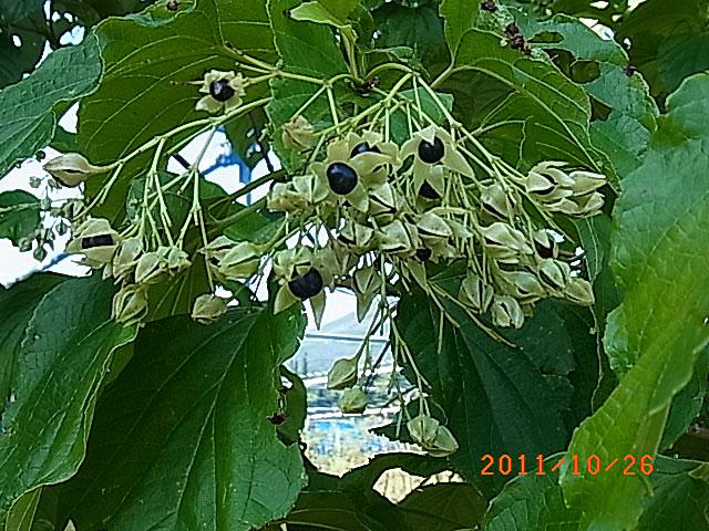 ハウスの周りで (ランタナ、ノコンギクが咲いています)_e0097770_13221718.jpg