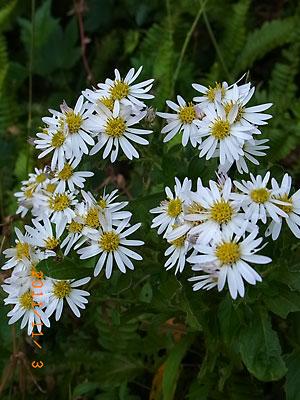 ハウスの周りで (ランタナ、ノコンギクが咲いています)_e0097770_13225429.jpg