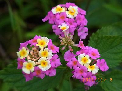 ハウスの周りで (ランタナ、ノコンギクが咲いています)_e0097770_1323227.jpg