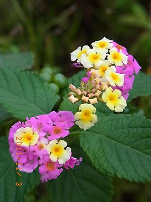 ハウスの周りで (ランタナ、ノコンギクが咲いています)_e0097770_13233427.jpg
