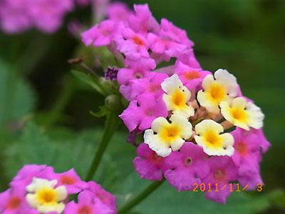 ハウスの周りで (ランタナ、ノコンギクが咲いています)_e0097770_13235121.jpg