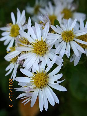 ハウスの周りで (ランタナ、ノコンギクが咲いています)_e0097770_1323644.jpg