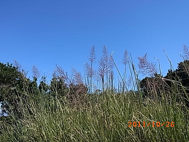 ハウスの周りで (ランタナ、ノコンギクが咲いています)_e0097770_13242631.jpg
