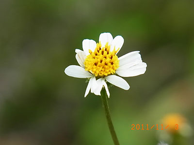 ハウスの周りで (ランタナ、ノコンギクが咲いています)_e0097770_1324557.jpg