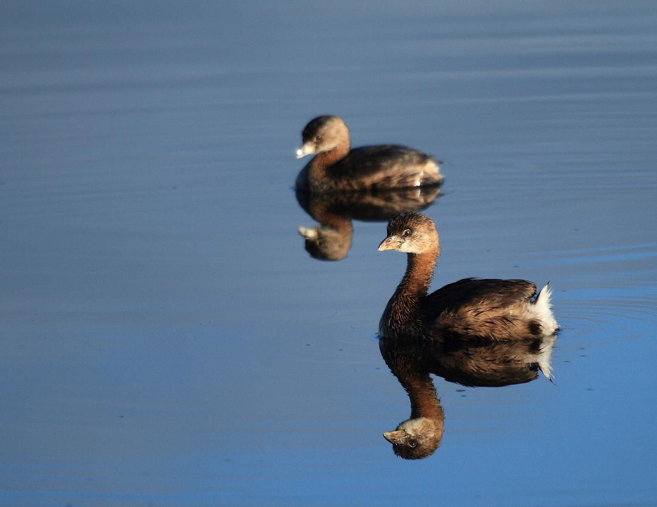 フロリダの野鳥その10: フロリダのカイツブリ_f0105570_21181835.jpg