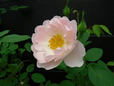バラ図鑑/小さなバラ園 byローズスタジオ_b0224889_15134082.jpg