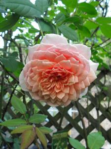 バラ図鑑/小さなバラ園 byローズスタジオ_b0224889_15232826.jpg