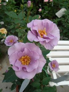 バラ図鑑/小さなバラ園 byローズスタジオ_b0224889_15352082.jpg