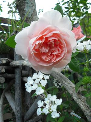 バラ図鑑/小さなバラ園 byローズスタジオ_b0224889_154425.jpg