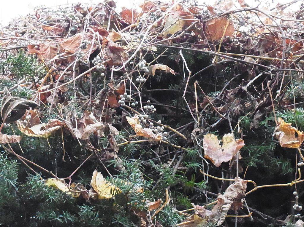 【今日の2枚】落ち葉とイチイとヤマブドウ_c0025115_1918497.jpg