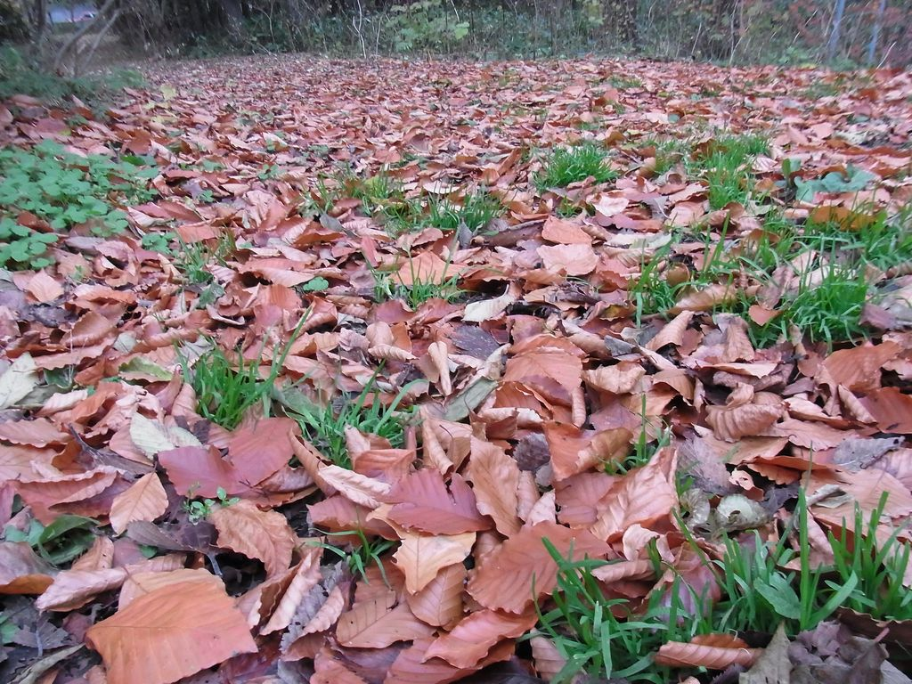 【今日の2枚】落ち葉とイチイとヤマブドウ_c0025115_19433100.jpg