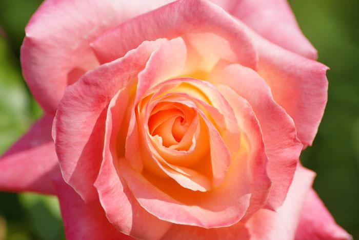 autumn-rose_e0077521_21584719.jpg