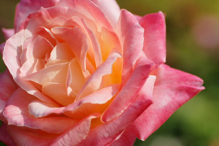 autumn-rose_e0077521_21594963.jpg