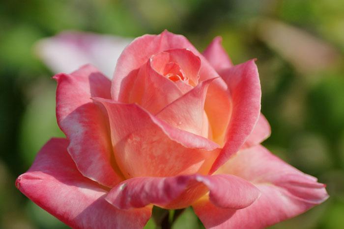 autumn-rose_e0077521_2201022.jpg