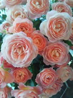 可愛すぎるバラたち_a0229658_13433338.jpg