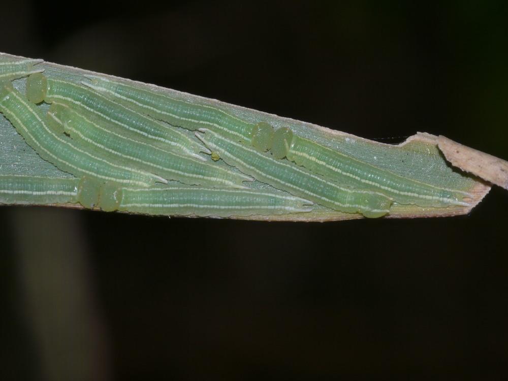 ヒメキマダラヒカゲ  顕著な雌雄差  2009-11.11.3_a0146869_6351828.jpg