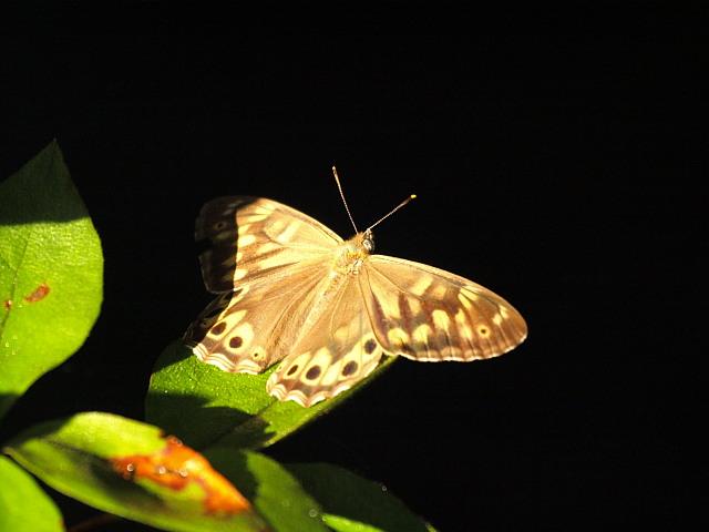 ヒメキマダラヒカゲ  顕著な雌雄差  2009-11.11.3_a0146869_6354715.jpg