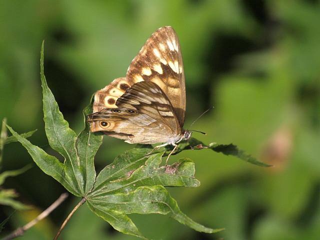 ヒメキマダラヒカゲ  顕著な雌雄差  2009-11.11.3_a0146869_6361537.jpg