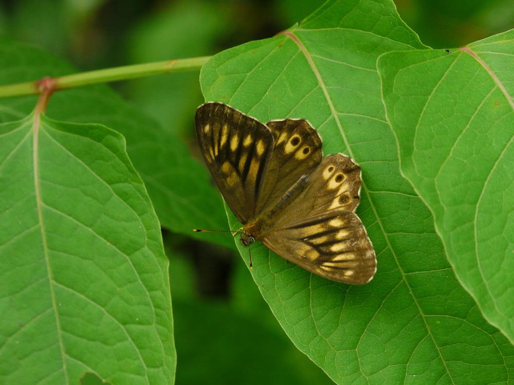 ヒメキマダラヒカゲ  顕著な雌雄差  2009-11.11.3_a0146869_6362783.jpg