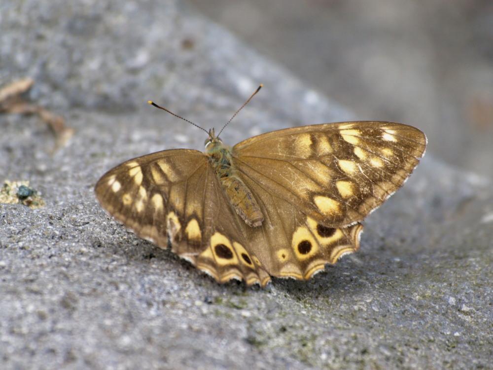 ヒメキマダラヒカゲ  顕著な雌雄差  2009-11.11.3_a0146869_6364479.jpg