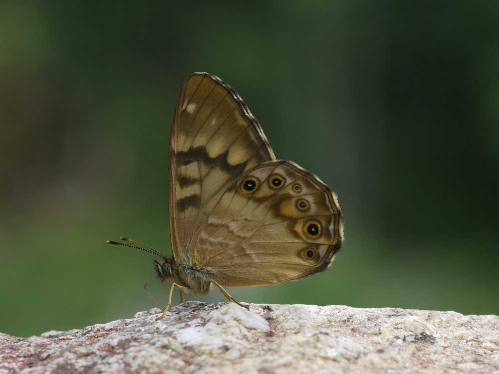 ヒメキマダラヒカゲ  顕著な雌雄差  2009-11.11.3_a0146869_6434087.jpg