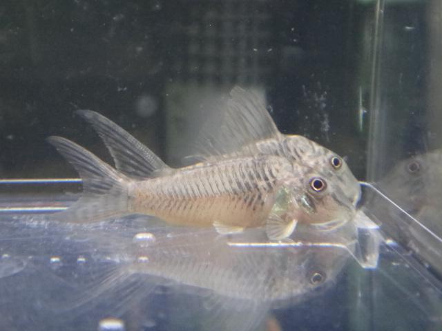 熱帯魚・水草_f0189122_1323215.jpg