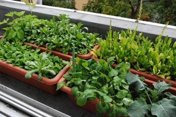 家庭菜園_e0103024_18133849.jpg