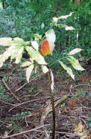 秋のウラシマソウ。_f0177373_20471631.jpg